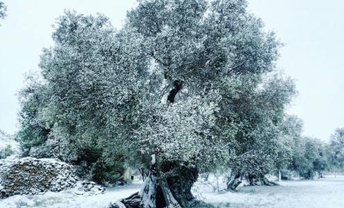 olivo innevato